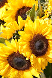 Closeup of yellow sunflowers Stock Photography