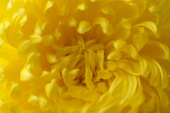 Closeup of yellow thrysanthemums Stock Photo