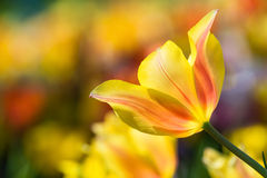 Closeup of yellow tulip in flowerbed Royalty Free Stock Image