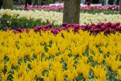 Closeup of yellow tulips in a forest garden stock images