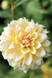 Closeup of Yellow and White Seattle Dahlia Flower in Garden Royalty Free Stock Image