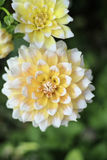 Closeup of Yellow and White Seattle Dahlia Flower in Garden Stock Photo