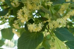 Closeup of yellowish green flowers of linden. Tree royalty free stock photo
