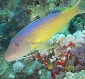 Closeup of yellowsaddle goatfish royalty free stock photos