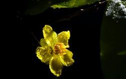 Closeup Yentu Ochna flower Stock Image