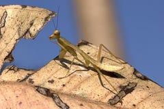Closeup Yoga Mantis Stock Photo
