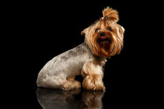 Closeup Yorkshire Terrier Dog Showing tongue on Black Mirror Royalty Free Stock Photography
