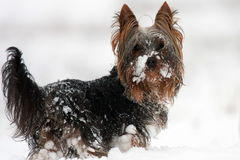 Yorkshire-Terrier Royalty Free Stock Image