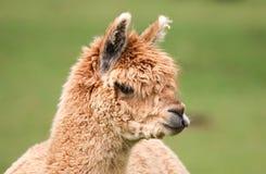 Closeup of young alpaca head. Closeup of young brown alpaca head Royalty Free Stock Photography