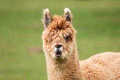 Closeup of young alpaca head. Closeup of young brown alpaca head pulling funny face Stock Image