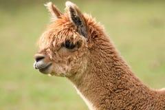 Closeup of young alpaca head. Closeup of young brown alpaca head Royalty Free Stock Photo