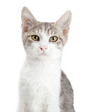Closeup Young Attentive Gey Cat Royalty Free Stock Photos