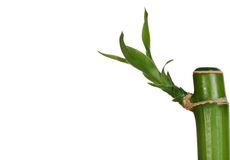 Closeup of young bamboo. Isolated closeup of young bamboo on white background Royalty Free Stock Photo