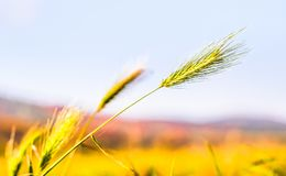 Closeup of young barely plant on field in Germany royalty free stock images