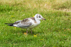 Closeup of a young black-headed gull, Larus ridibundus Royalty Free Stock Image