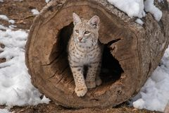 A closeup of a bobcat peaking out of a hollow tree log stock image