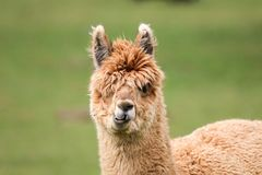 Closeup of young alpaca head. Closeup of young brown alpaca head Stock Photos