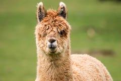Closeup of young alpaca head. Closeup of young brown alpaca head Royalty Free Stock Images