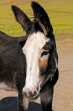 Closeup of a young burro Royalty Free Stock Photo