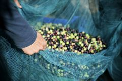 Harvesting olives in Spain. Closeup of a young caucasian man carrying a net full of arbequina olives during the harvesting in an olive grove in Catalonia, Spain Stock Image