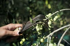 Harvesting olives in Spain. Closeup of a young caucasian man harvesting arbequina olives in an olive grove in Catalonia, Spain, with a comb-like tool Royalty Free Stock Photo