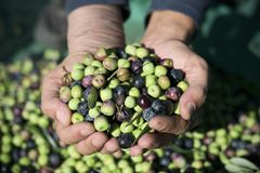 Harvesting olives in Spain. Closeup of a young caucasian man with a pile of olives freshly collected during the harvesting in an olive grove in Catalonia, Spain Stock Photos