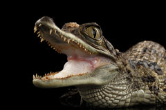 Closeup Young Cayman Crocodile, Reptile with opened mouth Isolated Black Stock Photography