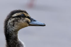 Closeup of young duckling. Closeup portrait of the head and neck of a young duckling on Loch Lomond, gray background Royalty Free Stock Images