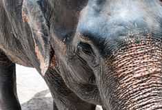 Closeup of young elephant Stock Images