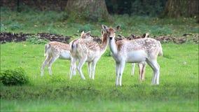 Closeup young fallow deer in summer. Closeup young fallow deer on meadow stock footage