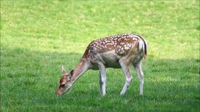 Closeup young fallow deer in summer. Fallow deer in a wildlife park stock video footage