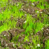Closeup of young fresh green grass Royalty Free Stock Image