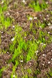 Closeup of young fresh green grass Stock Photography