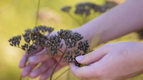 Hands of a young girl touching a dried brown wild flower in a park. stock video