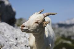 Closeup of a young goat head in the alps of Slovenia. Vogel Royalty Free Stock Photo
