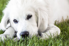 Closeup young Golden Retriever Royalty Free Stock Images