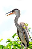 Closeup of young Great blue heron in nest Stock Photography