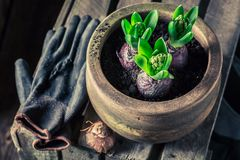 Closeup of young green crocus with old gardening tools. In spring royalty free stock photos