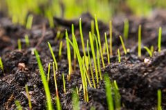 Closeup of young green grass seeds that begin to grow on new top. Soil in the garden at springtime stock photos