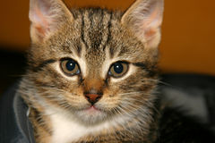Closeup of young kitten. Getting sleepy after a long play Stock Images