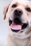 Closeup of a young labrador Stock Photos