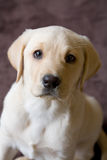 Closeup of Young Labrador Puppy Royalty Free Stock Image