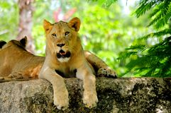 Closeup of young lion mouth open Stock Images