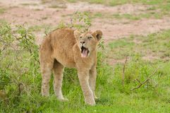 Closeup of a young Lion yawning. Closeup of a young Lion scientific name: Panthera leo, or `Simba` in Swaheli image taken on Safari located in the Serengeti Stock Photography