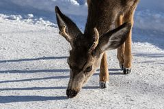 Closeup of male Kaibab deer mule deer with antlers feeding in winter. Snow in background. Closeup of young male Kaibab deer subspecies of mule deer with antlers stock images