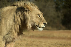 Closeup of Young Male White Lion Royalty Free Stock Photos