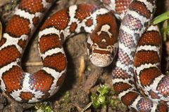 Closeup of young milk snake on garden soil in Connecticut. Stock Photos