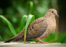 Closeup of Young Mourning Dove in Profile Royalty Free Stock Image