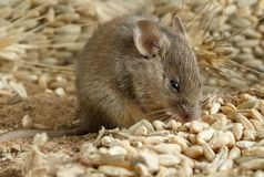 Closeup young mouse gnaws the a grain of rye inside storehouse. Royalty Free Stock Images