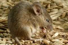 Closeup young mouse gnaws the  grain of rye inside warehouse. Stock Photography